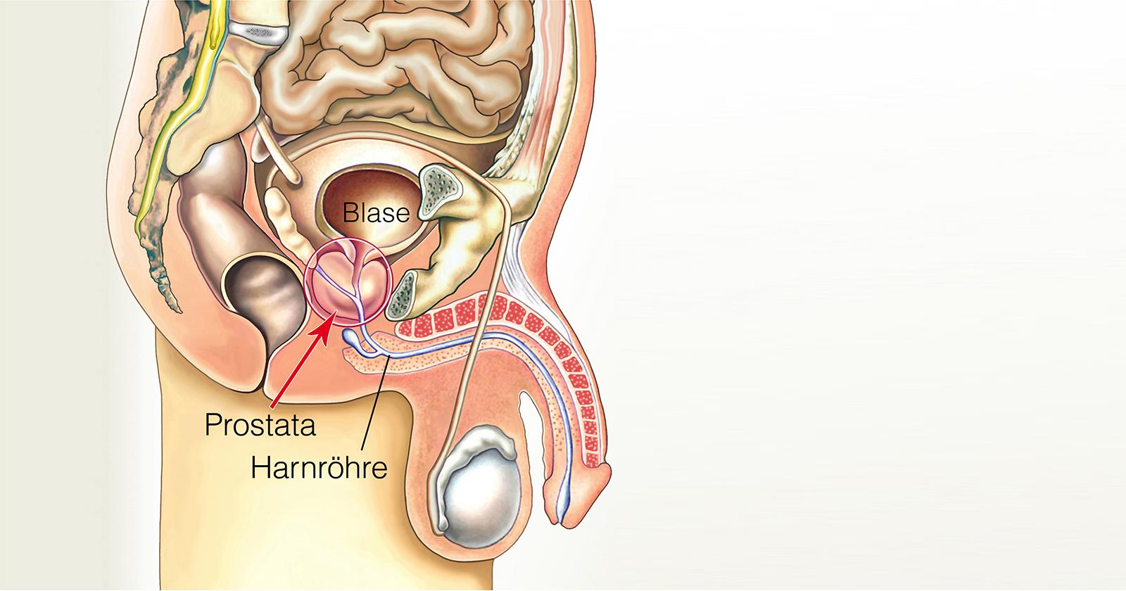 Anatomische Ansicht der Prostata und des Urogenitaltrakts.